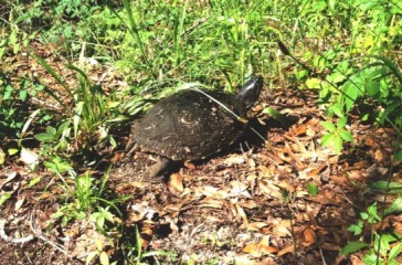 Turtle at Brush Pile 1 (1)
