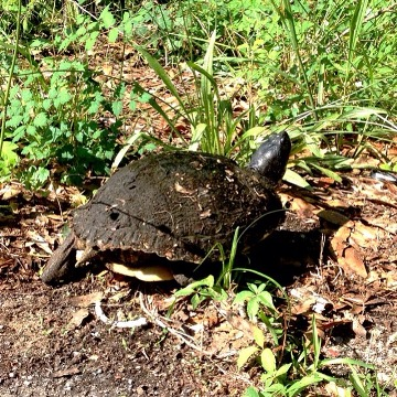 Turtle at Brush Pile 2