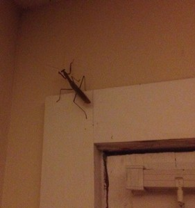 Huge Praying Mantis