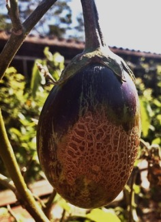 Eggplant on the Vine