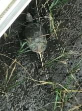 Salt Marsh Turtle